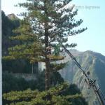 pino abbattuto 2012_02