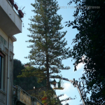 pino abbattuto 2012_04