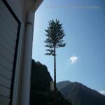 pino abbattuto 2012_08